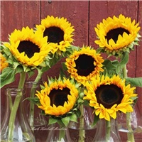 Sunflowers in Milk Bottles