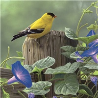 Goldfinch Morning Glory