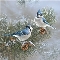Bluejays in Pines